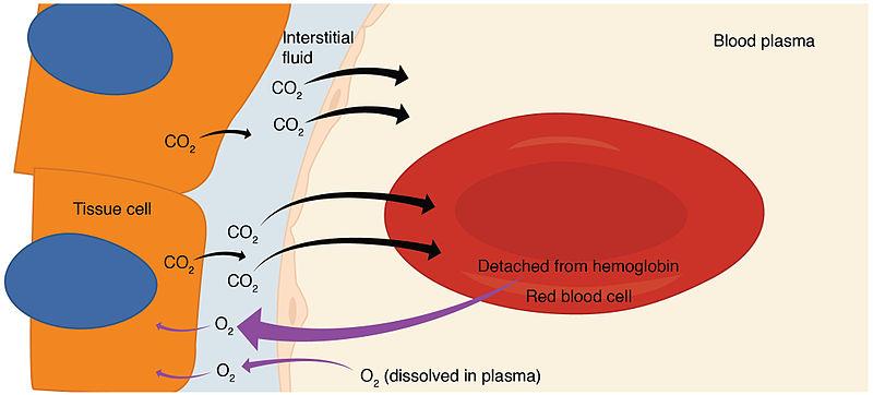 Main Difference - Internal vs External Respiration