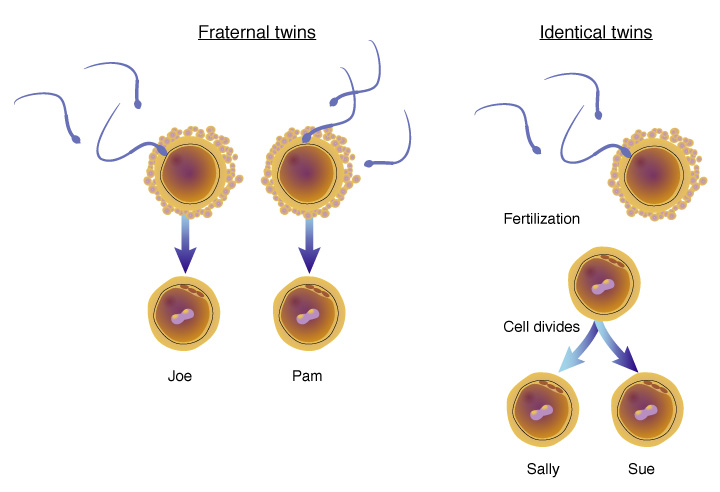 fraternal vs identical twins The media love identical twins, but fraternal twins are also important.