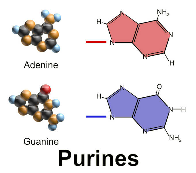 Difference Between Purines and Pyrimidines