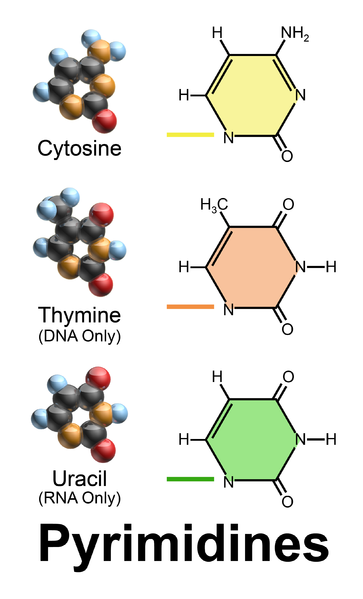 Difference Between Purines and Pyrimidines - 4