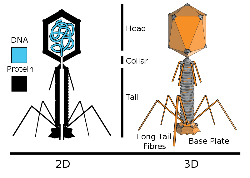 Difference Between Retrovirus and Bacteriophage