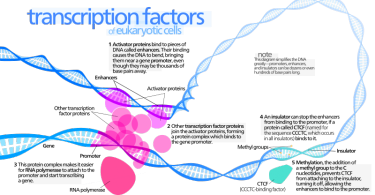 How do Transcription Factors Bind to DNA