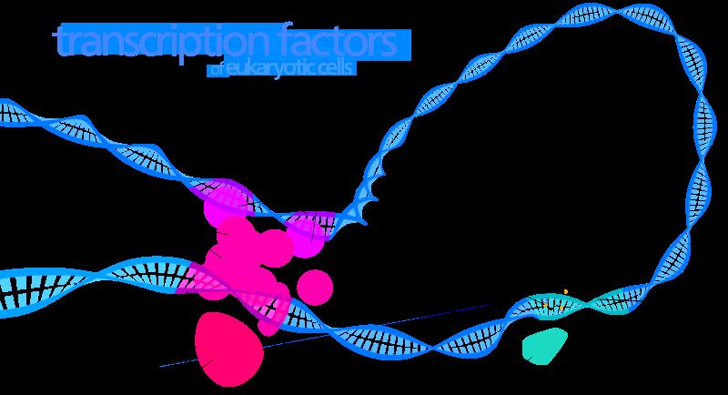 How do Transcription Factors Bind to DNA