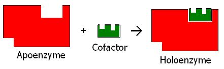 What is the Active Site of an Enzyme - 2