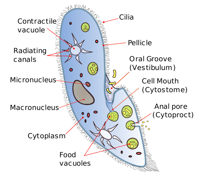Main Difference - Amoeba vs Paramecium