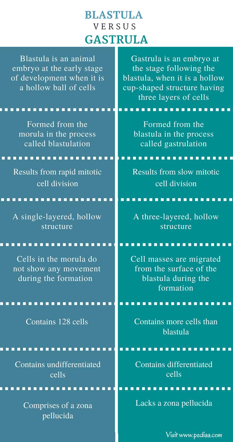 Różnica między blastulą a gastrulą - podsumowanie porównawcze