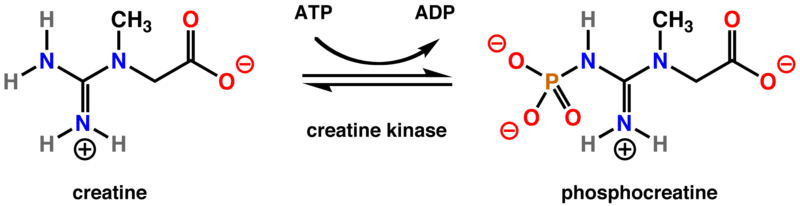 Difference Between Creatine and Creatinine