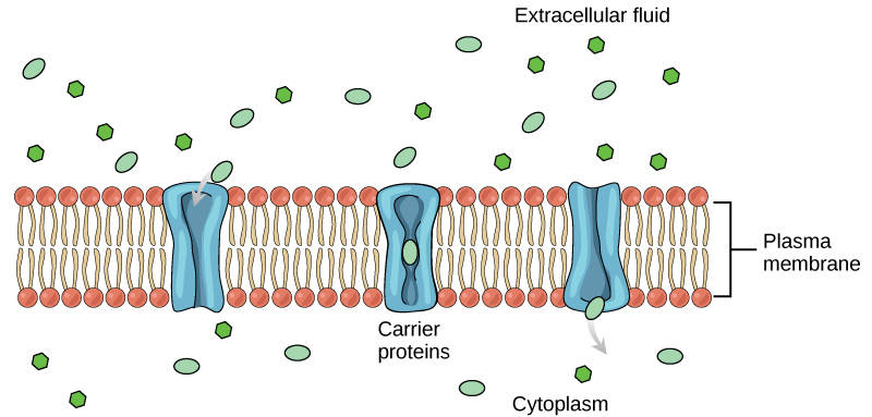 difference between diffusion and active transport