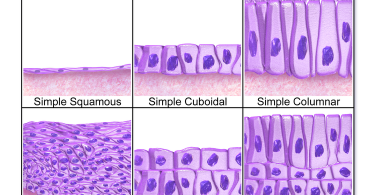 Difference Between Epithelial and Mesenchymal Cells
