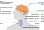 Difference Between Hormones and Neurotransmitters