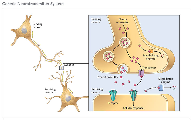 neurotransmitter neuron and hormones function Structure and function of a owlcation » stem neuroscience basics: the neuron updated on manufacturing proteins that make up neurotransmitters and hormones.