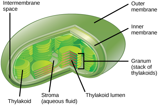 Difference Between Membranous And Nonmembranous Organelles