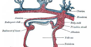 Difference Between Mesenchyme and Mesoderm