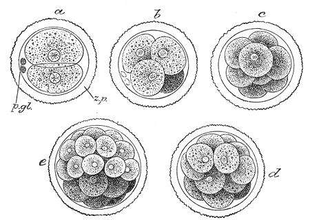 Main Difference -  Morula vs  Blastula