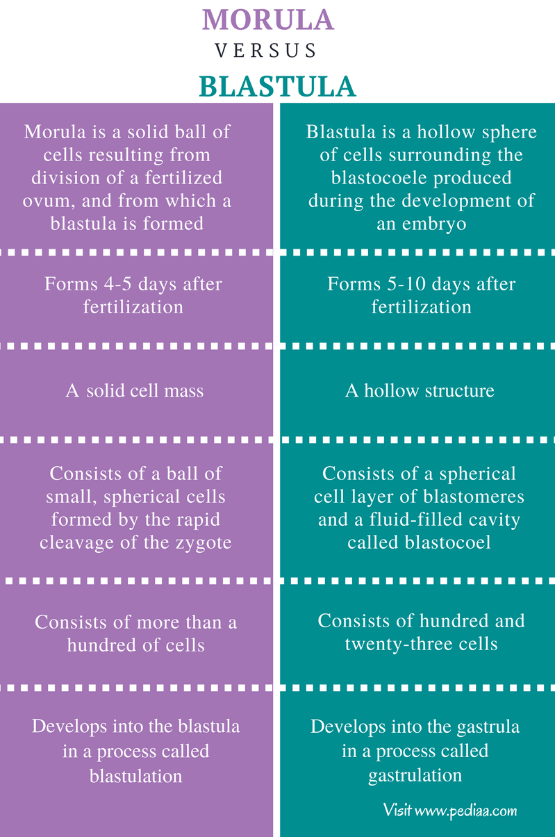 Difference Between Morula and Blastula - Comparison Summary