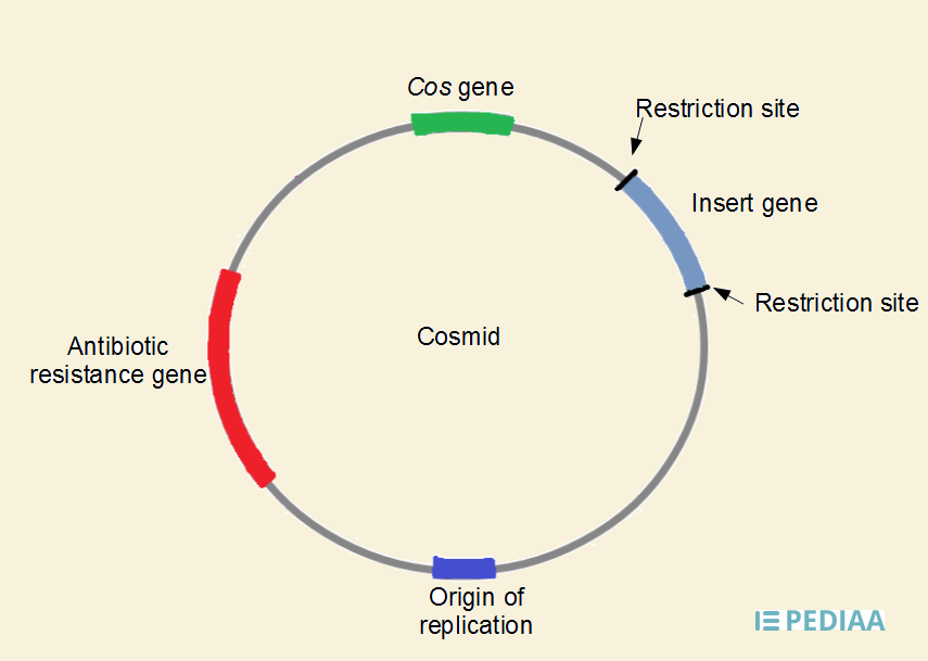 Difference Between Plasmid and Cosmid | Features, Structure