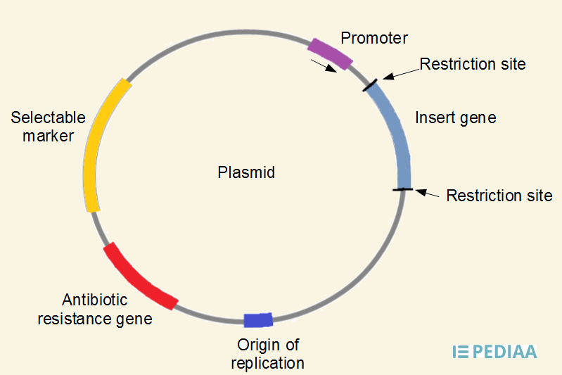 difference between plasmid and cosmid features structure uses