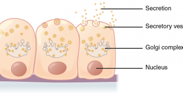 Difference Between Secretion and Excretion