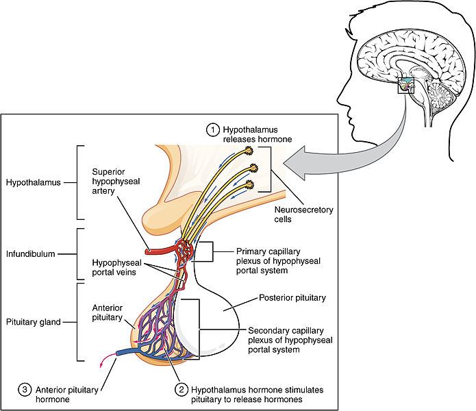 Difference Between Anterior and Posterior Pituitary Gland