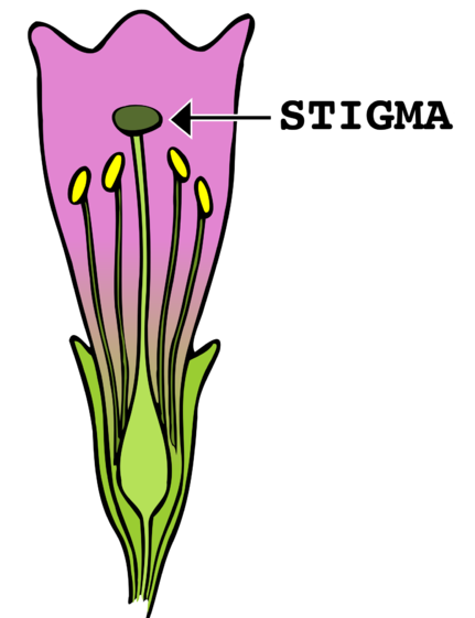 Difference Between Anther and Stigma_Figure 03