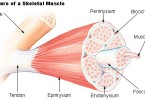 Difference Between Cardiac Skeletal and Smooth Muscles