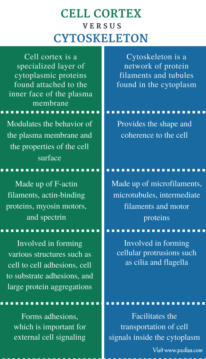 Difference Between Cell Cortex and Cytoskeleton - Comparison Summary