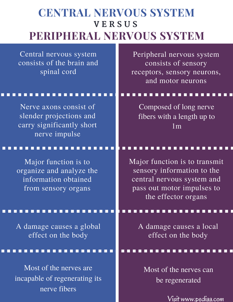 Difference Between Central and Peripheral Nervous System - Comparison Summary