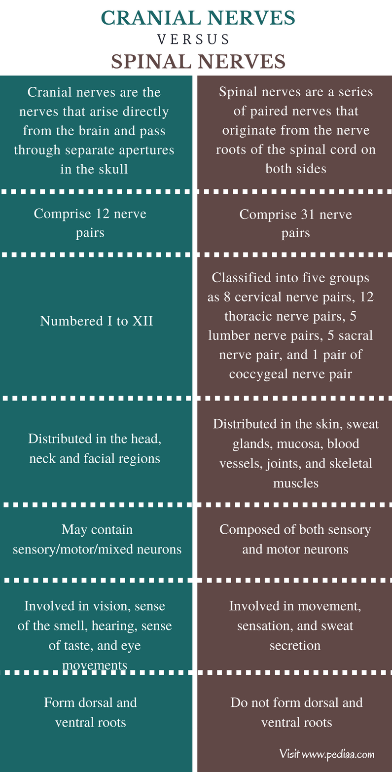Difference Between Cranial and Spinal Nerves - Comparison Summary