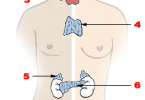 Difference Between Endocrine and Exocrine Glands