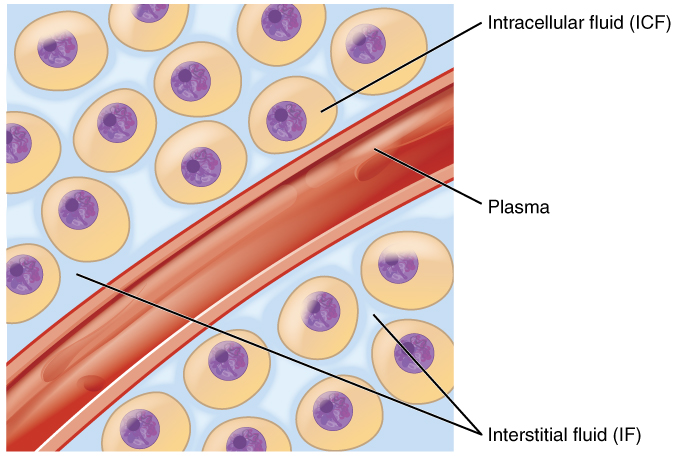 Difference Between Intracellular Fluid and Extracellular Fluid