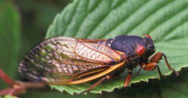 Difference Between Locusts and Cicadas