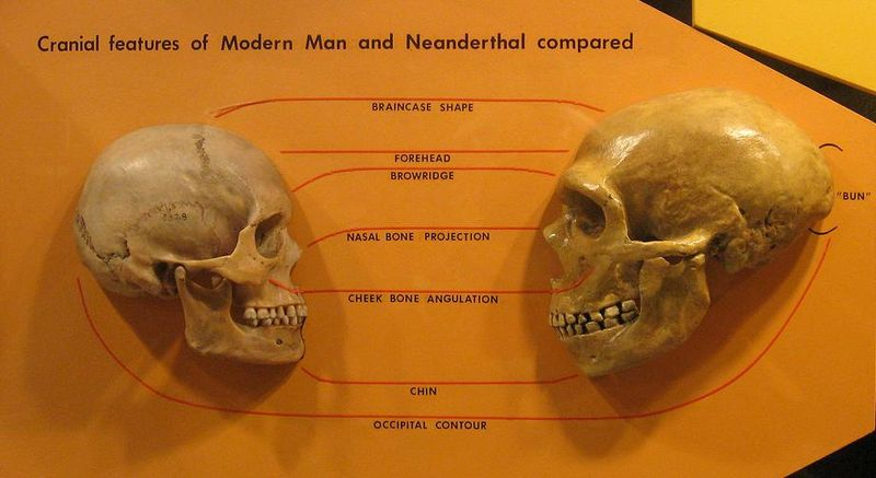 Main Difference - Neanderthals vs Humans