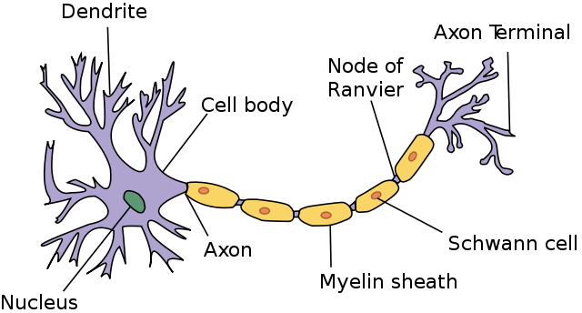 Difference Between Nerve and Neuron