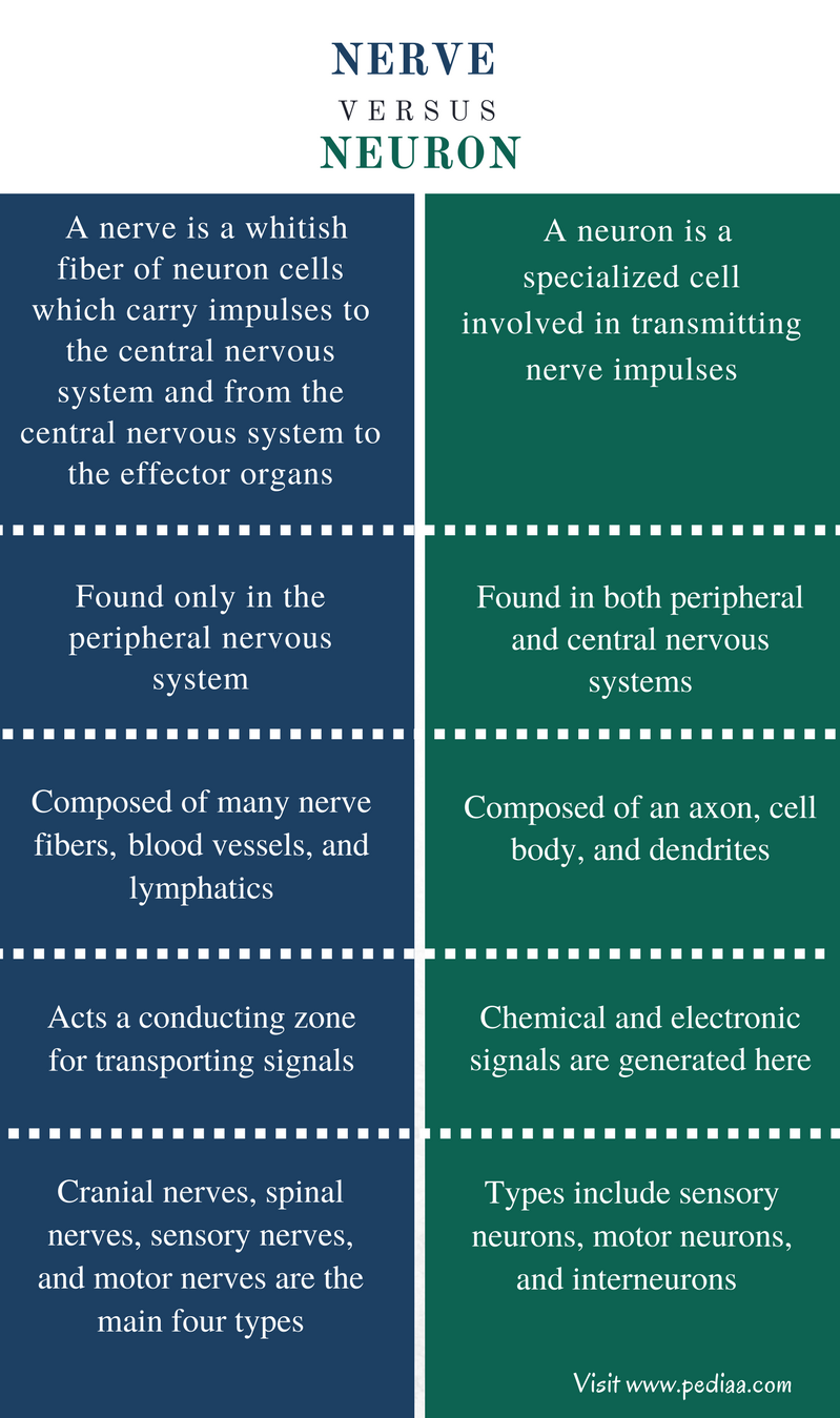 Difference Between Nerve and Neuron - Comparison Summary