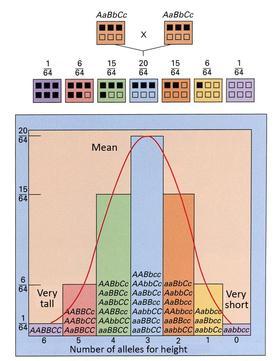Main Difference - Pleiotropy vs Polygenic Inheritance