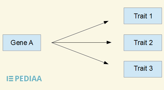 Difference Between Pleiotropy and Polygenic Inheritance_Figure 3