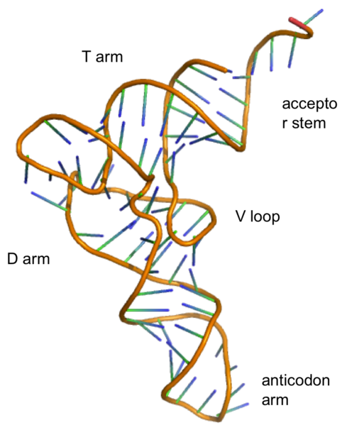 Difference Between RNA and mRNA_Figure 1