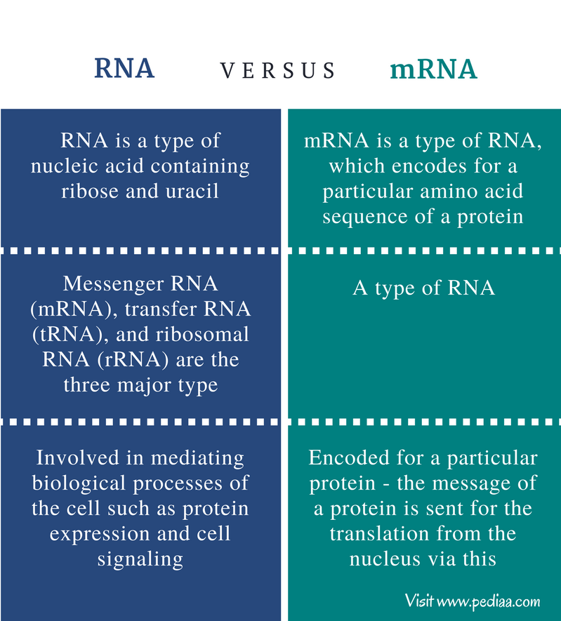 Difference Between RNA and mRNA - Comparison Summary