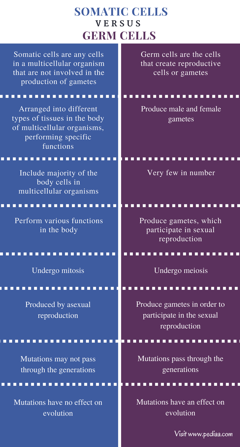 Difference Between Somatic Cells and Germ Cells - Comparison Summary (1)