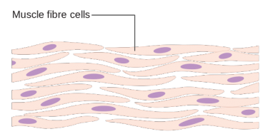 Difference Between Somatic and Germ Cells