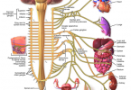 Difference Between Sympathetic and Parasympathetic Nervous System