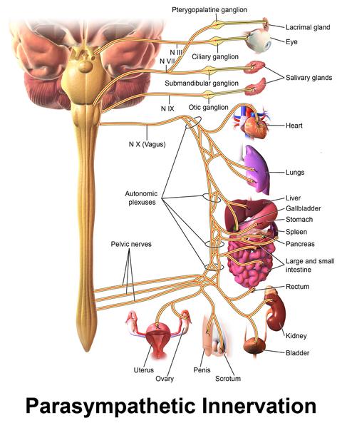 Main Difference - Sympathetic vs Parasympathetic Nervous System