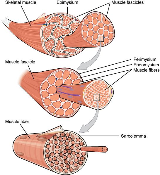 Difference Between Voluntary and Involuntary Muscles