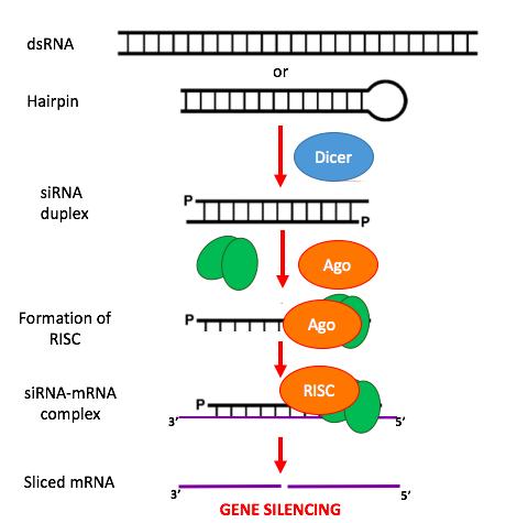 Main Difference - miRNA vs siRNA