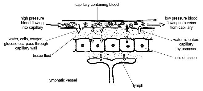 Relationship Between Tissue Fluid and Lymph - 1