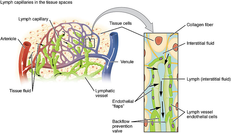 Relationship Between Tissue Fluid and Lymph