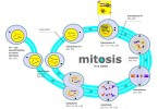 Similarities Between Mitosis and Meiosis - 1