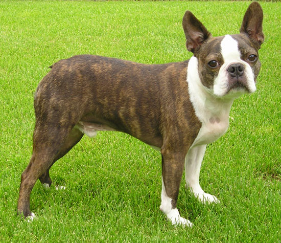 Main Difference - Boston Terrier vs French Bulldog