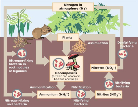 Main Difference - Carbon Cycle vs Nitrogen Cycle