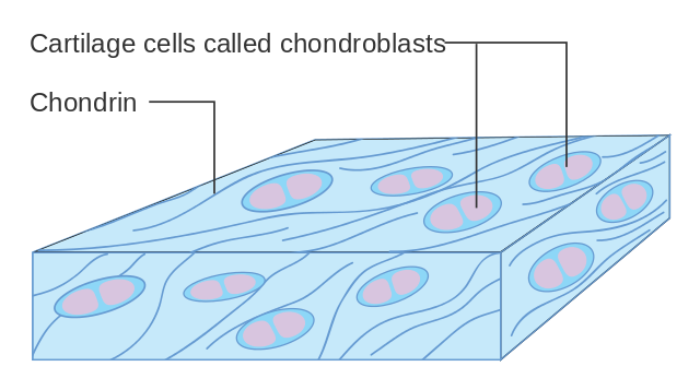 Difference Between Chondroblasts and Chondrocytes